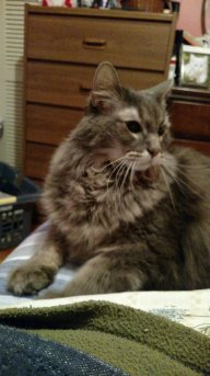 My Maine Coon Cat